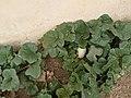 Sweet melon plant 2.jpg