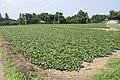 Sweet potato field in Namegata, Ibaraki 03.jpg