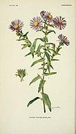 Symphyotrichum novae-angliae.jpg