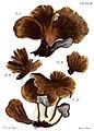 Tab44-Agaricus flabelliformis Schaeff.jpg