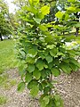 Taban Park Botanical nature trail. Common hazel (Corylus avellana). - Budapest.JPG