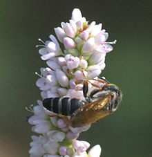 Bộ sưu tập côn trùng 2 220px-Tachytes_P1280103a