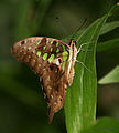 Tailed Jay (Graphium agamemnon) I IMG 9745.jpg