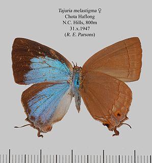 <i>Tajuria melastigma</i> species of insect