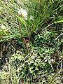 Taraxacum serotinum sl28.jpg