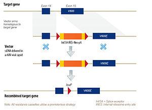 Recombinant AAV mediated genome engineering - Image: Targeting vectors 2005 onwards