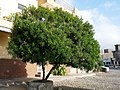 Tarrafal-Thevetia peruviana (2).jpg