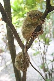 Tarsier tree climbing