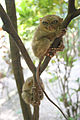 Tarsius Syrichta-GG.jpg