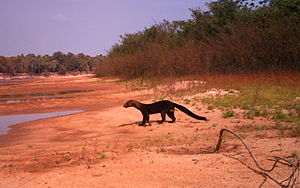 Cantão - A male tayra emerges from a Sapium thicket to forage for turtle and bird nests on a beach inside the park.