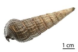Terebralia palustris shell