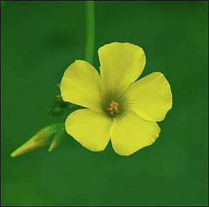 The-First-Oxalis-of-Winter-2015-IZE-11559.jpg