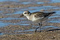 The Early Plover - Flickr - Andy Morffew.jpg