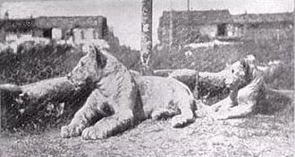 Lafayette Escadrille - The mascots of the Lafayette Escadrille were two lion cubs Whiskey and Soda