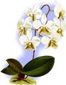 The Orchid Album-01-0119-0039-Phalaenopsis stuartiana nobilis-crop.png