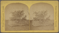 """The old """"Endicott Pear Tree,"""" Danvers, Mass., planted by Governor Endicott in 1628., by J. S. Lefavour.png"""