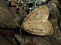 Thumatha senex - Round-winged muslin - Печёночница (39053972240).jpg