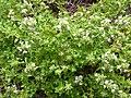 Thymus vulgaris Paludi 01.jpg