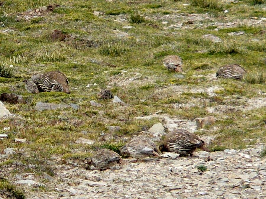 Tibetan Snowcock family