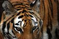 Tiger (227665411).jpg
