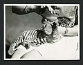 Tiger cub being fed by Lucile Mann, during the National Geographic Society-Smithsonian Institution Expedition to the Dutch East Indies, 1937 (7996910672).jpg