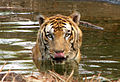 Tiger in a Watering hole.jpg