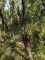 Tillandsia utriculata - Flickr - pellaea (1).jpg