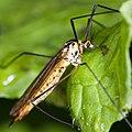 Tipule Crane fly (6960967366).jpg