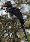 Tockus alboterminatus