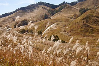 Panicoideae - Miscanthus sinensis in Tonomine Highlands, Japan