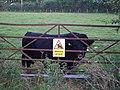 Totnell, Dexter bull, looking benign... - geograph.org.uk - 565097.jpg