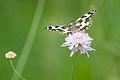 Toulouse - La Marouine - Lepidoptera.jpg