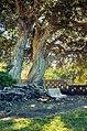 Tree (36278588).jpeg