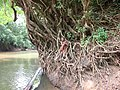 Tree by River Meme (Cameroon).jpg
