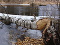 Tree destroying by beaver.jpg