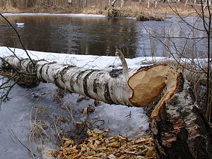 English: This tree was destroying by beaver. L...