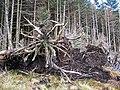 Tree roots - geograph.org.uk - 1185753.jpg