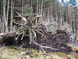 English: Tree roots The 'underneath' of the ro...