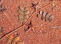 Tribulus astrocarpa fruit.jpg