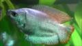 Trichogaster lalius - variétée d'élevage bleu.png