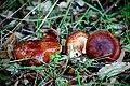 Tricholoma quercetorum Contu 511804.jpg