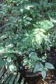 Trichostigma octandra - Palmas del Mar PR - Pterocarpus Forest IMG 2278.jpg
