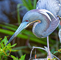 Tricolor heron by Bonnie Gruenberg2.jpg