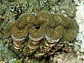 Tridacna squamosa (Giant clam) with fluted shell.jpg