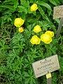 Trollius europaeus - Berlin Botanical Garden - IMG 8491.JPG
