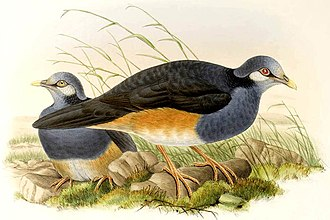 Choiseul pigeon - The related thick-billed ground pigeon (Trugon terrestris)