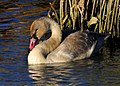 Trumpeter Swan Cygnet on Seedskadee National Wildlife Refuge (21719665994).jpg