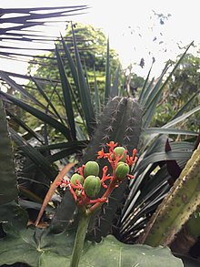 Kaktus Wikipedia Bahasa Indonesia Ensiklopedia Bebas