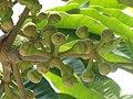 Tupidanthus (Menton) fruit.jpg
