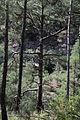 Turkish pine trees, Canyon Kapıkaya 10.jpg